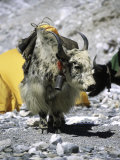 Yak in Tibet Lámina fotográfica por Michael Brown