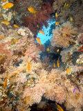 Soft Corals, St. Johns Reef, Red Sea Fotografisk trykk av Mark Webster