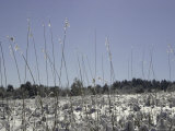 Snowy Blades of Grass in the Sun, Boulder Photographic Print by Dörte Pietron