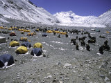 A Heard of Yaks and Tents, Nepal Láminas por Michael Brown