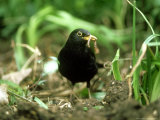 Blackbird, with Worm, UK Papier Photo par Ian West