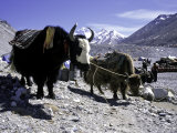 Yaks at the Base Camp of the Everest North Side, Tibet Fotografisk tryk af Michael Brown