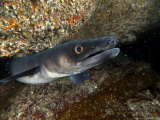 Conger Eel, Emerging from Rock Crevice, UK Photographie par Mark Webster