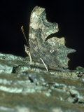 Comma Butterfly, Oxon, UK Photographie par John Woolmer