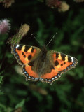 Small Tortoiseshell, Aglais Urticae Photographie par John &amp; Jane Woolmer