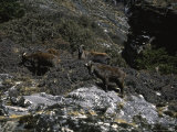 Wild Goats, Nepal Poster by Michael Brown