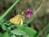 Chequered Skipper, Pyrenees, S. of France Photographie par John &amp; Jane Woolmer