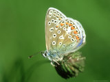 Common Blue in Early Morning Dew, UK Photographic Print by Ian West