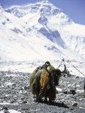 Lone Yak Reprodukcja zdjęcia autor Michael Brown