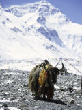 Lone Yak Photographic Print by Michael Brown