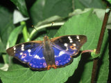 Lesser Purple Emperor, Male Photographie par John &amp; Jane Woolmer