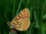 Marsh Fritillary, South of France Photographie par John &amp; Jane Woolmer