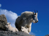 Wild Goats, Boulder Photographic Print by Michael Brown