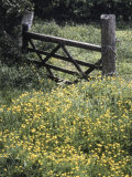 Buttercups and Hawthorn Photographic Print