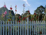 Flowers Growing Over a Picket Fence in Front of a House Photographic Print