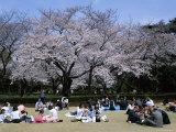 People Partying Under Cherry Blossoms, Shinjuku Park, Shinjuku, Tokyo, Honshu, Japan Photographic Print