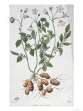 Potato Flowers Giclee Print by P Naudin
