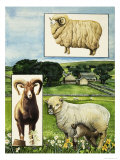 Sheep - the Southdown Giclee Print by Susan Neale