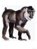 Drill Baboon Giclee Print by Arthur Oxenham