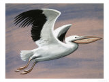 The Pelican Giclee Print by D. A. Forrest