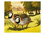 The Red-Legged Partridge Giclee Print by Bob Hersey