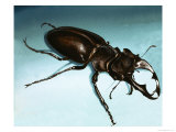Rare Breeds: The Stag Beetle Giclee Print by David Nockels