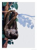 Two Toed Sloth Giclee Print by Susan Cartwright