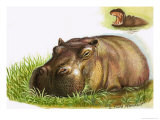 Hippopotamus Giclee Print by Leslie Field Marchant