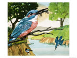 The Kingfisher Giclee Print by D. A. Forrest