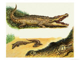Crocodiles Giclee Print by Leslie Field Marchant
