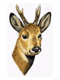 Roe Deer Giclee Print by David Pratt