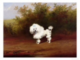 Toy Poodle in a Landscape Giclee Print by Frederick French