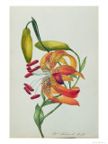 Tiger Lily Giclee Print by Mrs Frederick Hill