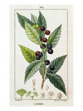 Laurel, Botanical Plate, c.1810 Giclee Print by Pierre Jean Francois Turpin
