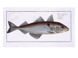 Haddock Giclee Print by Andreas-ludwig Kruger