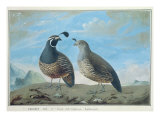 Male and Female Californian Partridge, from Voyage de La Perouse Giclee Print by J.r Prevost
