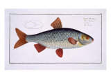 Roach Giclee Print by Andreas-ludwig Kruger