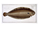 Dover Sole Giclee Print by Andreas-ludwig Kruger