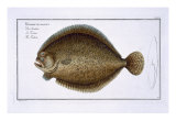 Turbot Giclee Print by Andreas-ludwig Kruger
