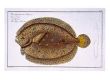 The Argus Flounder Giclee Print by Andreas-ludwig Kruger