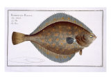 Plaice Giclee Print by Andreas-ludwig Kruger