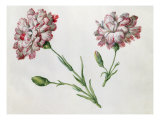 Carnations Giclee Print by Claude Aubriet