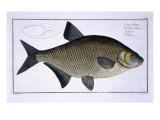 Bream Giclee Print by Andreas-ludwig Kruger