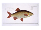 Red Carp Giclee Print by Andreas-ludwig Kruger