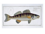 Pike-Perch Giclee Print by Andreas-ludwig Kruger