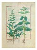 Urticaceae Giclee Print by Robinet Testard