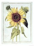 Helianthus Annuus Giclee Print by Nicolas Robert