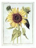 Helianthus Annuus Giclee Print by Nicolas Robert