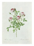 Rosa Pomponia, from Les Roses by Claude Antoine Thory Giclee Print by Henri Joseph Redouté