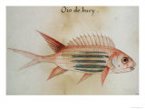 Squirrel Fish or Soldier Fish Giclee Print by John White